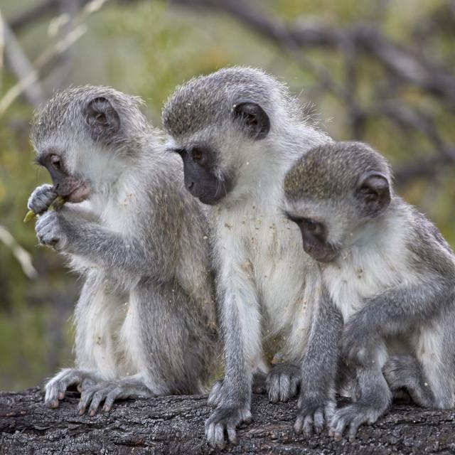 """Three young Vervet Monkey (Chlorocebus aethiops), Mountain Zebra National..."" stock image"