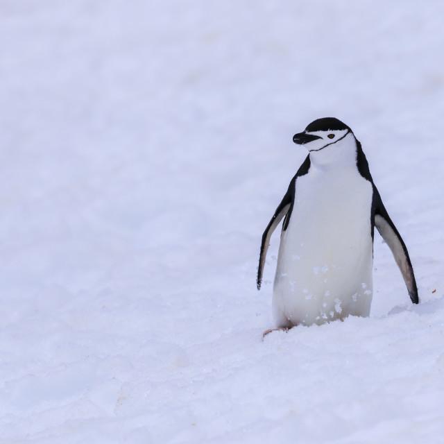 """Chinstrap penguin (Pygoscelis antarcticus) in the snow, Half Moon Island,..."" stock image"