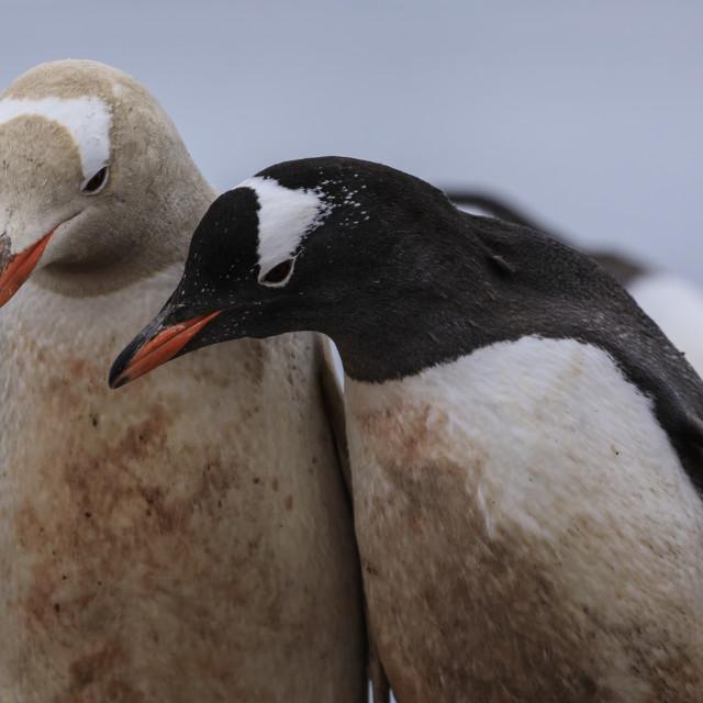 """Rare leucistic gentoo penguin (Pygoscelis papua) contrasts with another..."" stock image"