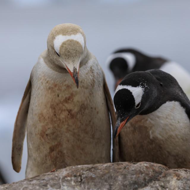 """Rare leucistic gentoo penguin (Pygoscelis papua) in a colony, Gonzalez Videla..."" stock image"