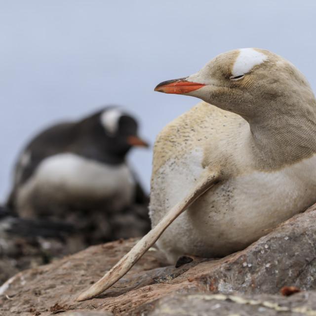 """Rare leucistic gentoo penguin (Pygoscelis papua), Gonzalez Videla Station,..."" stock image"