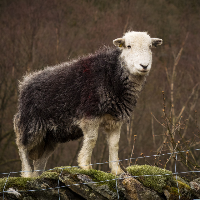 """Herdwick On Top Of The World"" stock image"