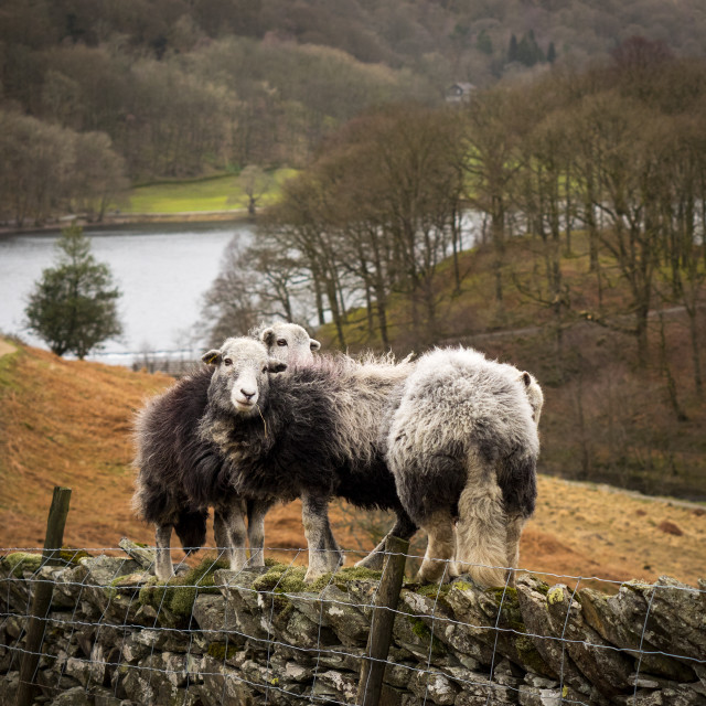 """Escaping Herdwick Sheep"" stock image"