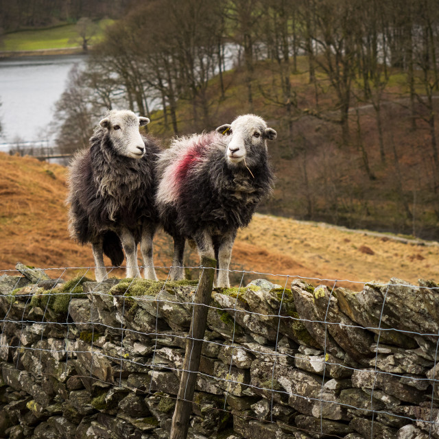 """Adventuring Herdwick Sheep"" stock image"