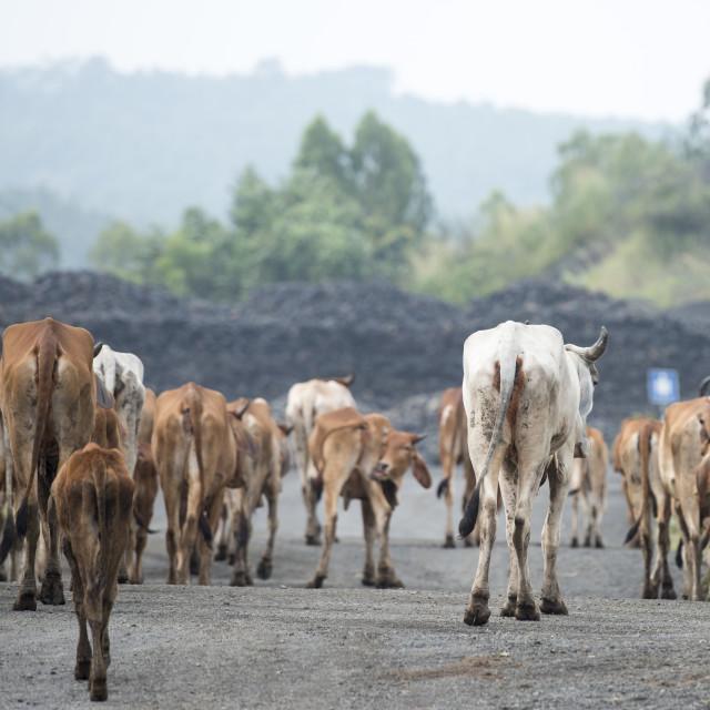 """""""THAILAND BURIRAM ROAD AGRICULTURE COW"""" stock image"""