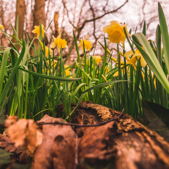 """Spring daffodils"" stock image"