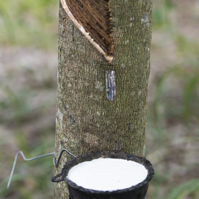 """THAILAND BURIRAM AGRICULTURE RUBBER TREE"" stock image"