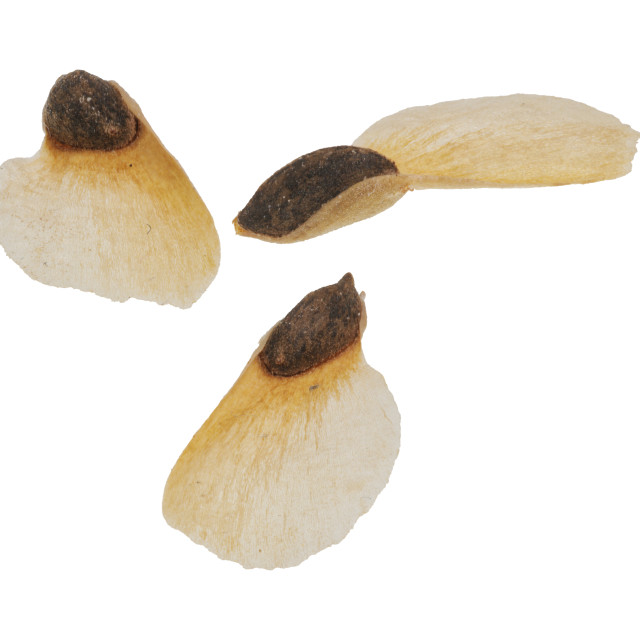 """Spruce seeds on a white background"" stock image"