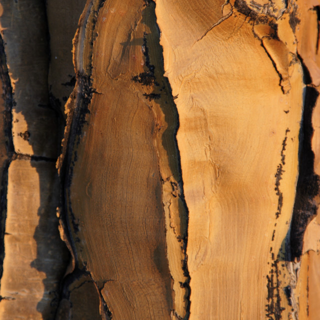 """Bark of a quiver tree"" stock image"