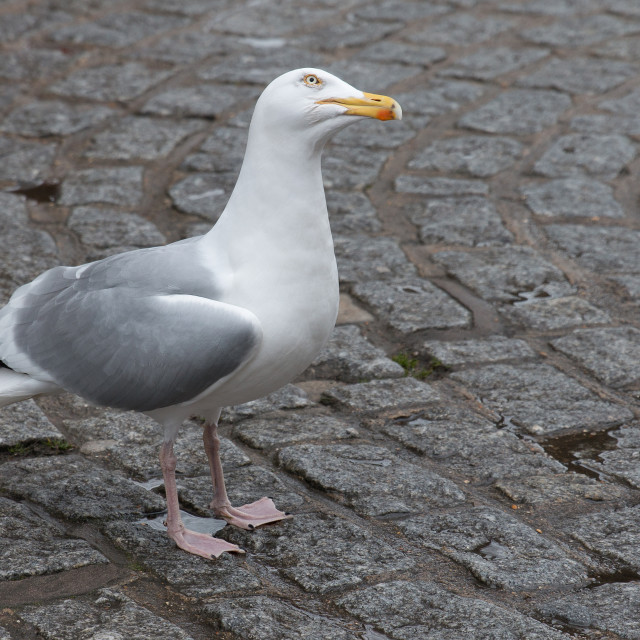 """Quizzical Gull"" stock image"