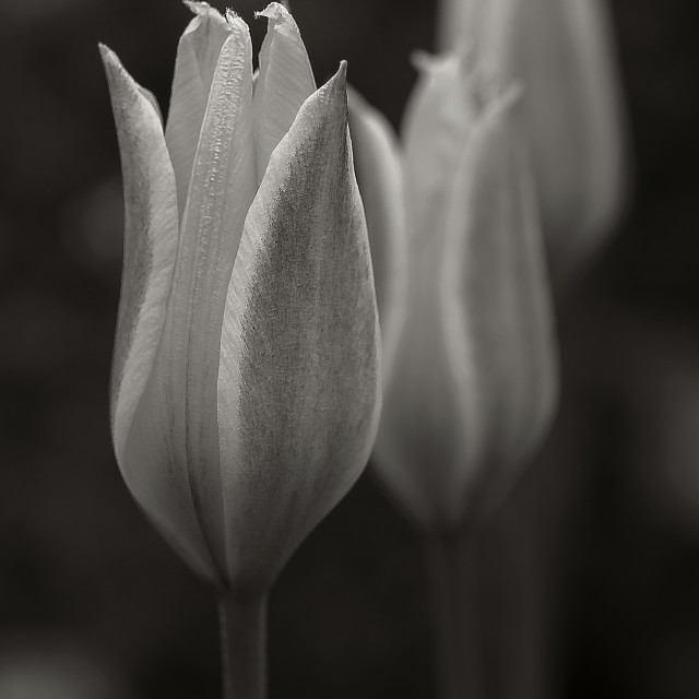 """Tulip Black and White"" stock image"