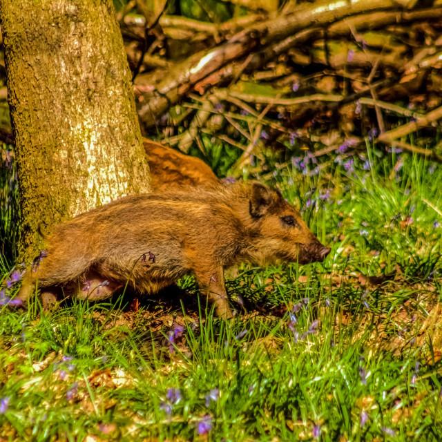 """Wild boar piglet"" stock image"