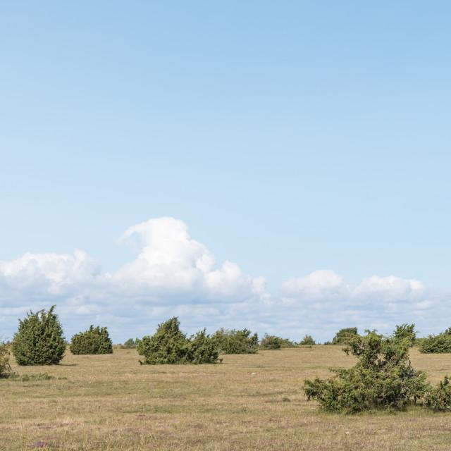 """Juniper bushes in a plain landscape"" stock image"