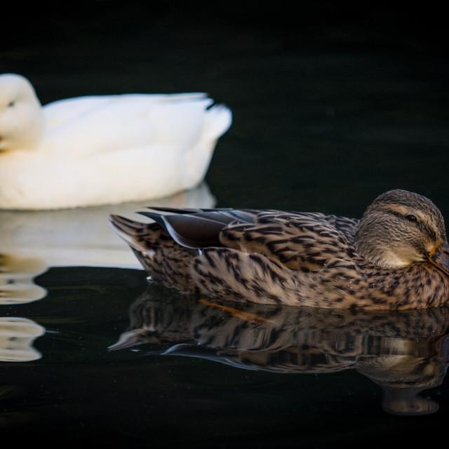 """Two Ducks"" stock image"