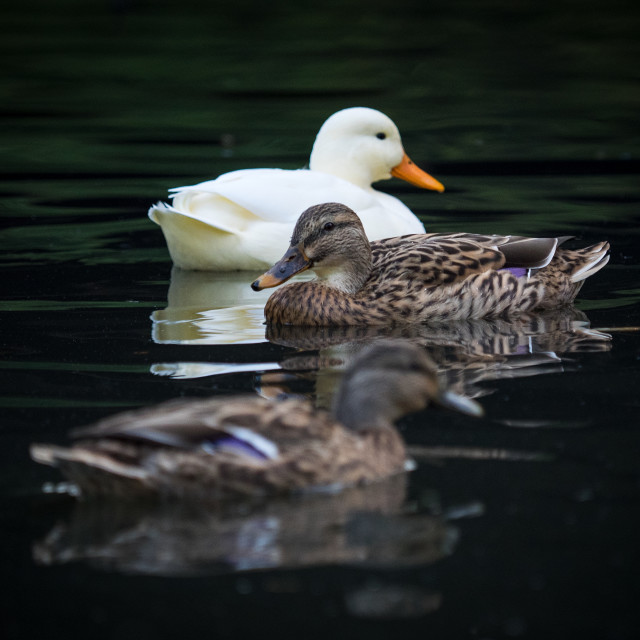 """Three Ducks"" stock image"