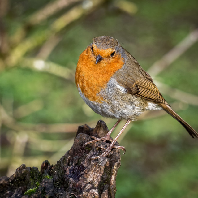 """Robin looking at you"" stock image"
