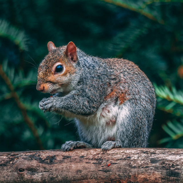"""Grey Squirrel eating"" stock image"