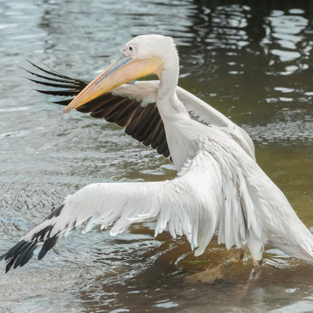 """pelican wingspan in water"" stock image"