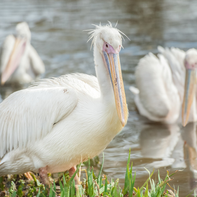 """pelicans on water"" stock image"