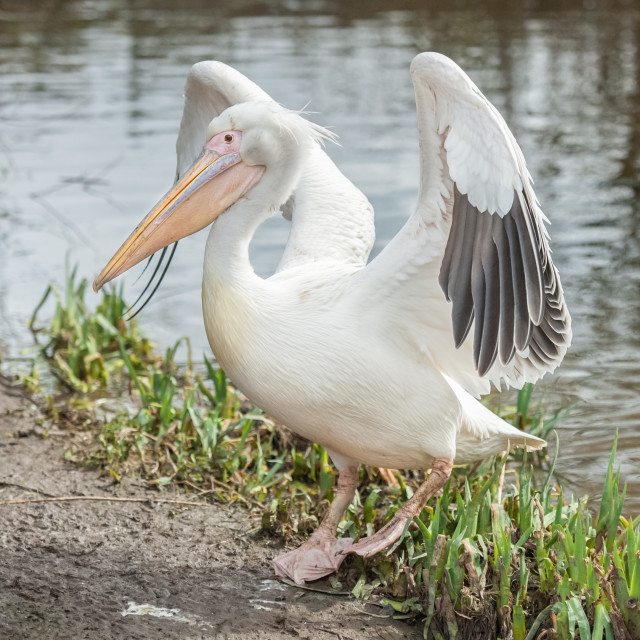 """pelican flapping wings"" stock image"