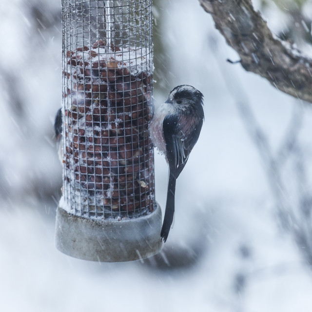 """Long Tailed Tit (Aegithalos caudatus) Clinging to a Feeder as Sn"" stock image"