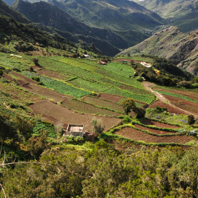 """""""Terraced fields in the Mercedes mountains. Tenerife,"""" stock image"""