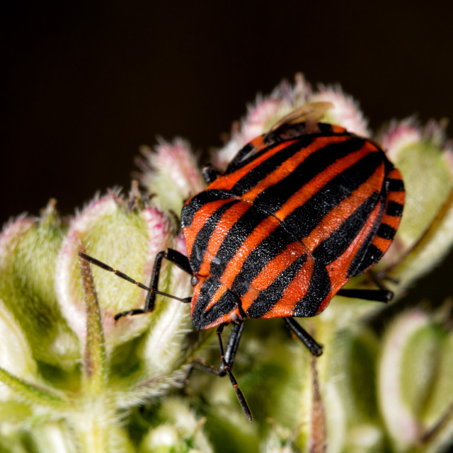 """red and black beatle insects"" stock image"