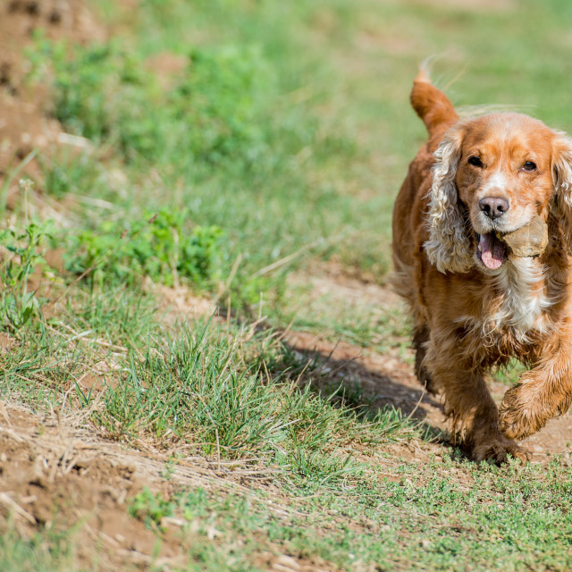 """Happy Dog English cocker spaniel while running to you"" stock image"