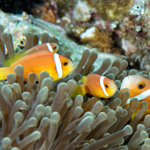"""Clown fish inside green anemone"" stock image"