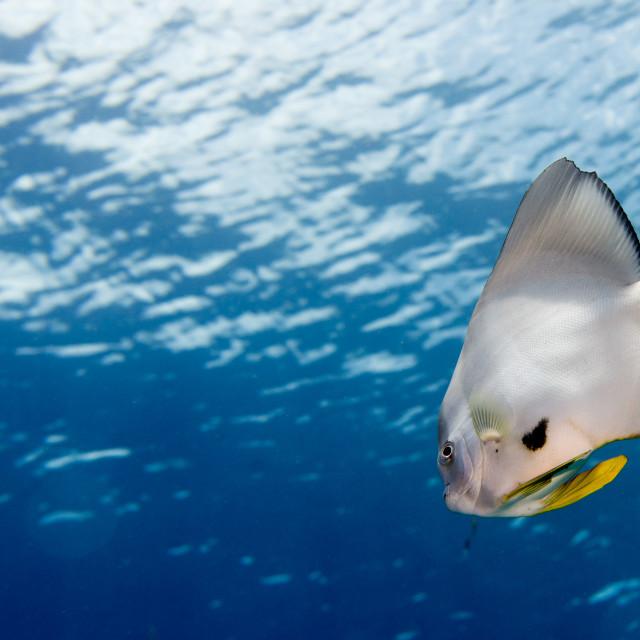 """""""bat fish portrait"""" stock image"""