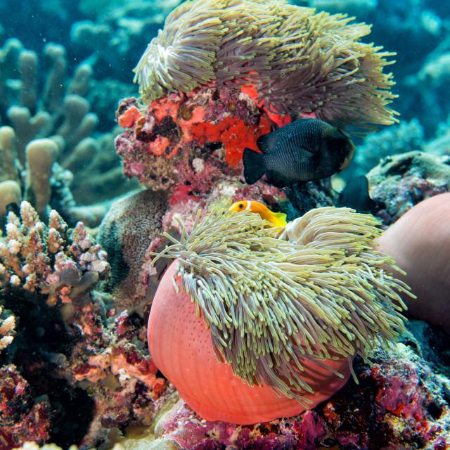 """Clown fish inside pink purple anemone"" stock image"