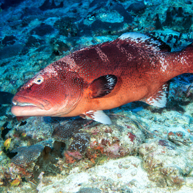 """colorful grouper isolated on ocean"" stock image"