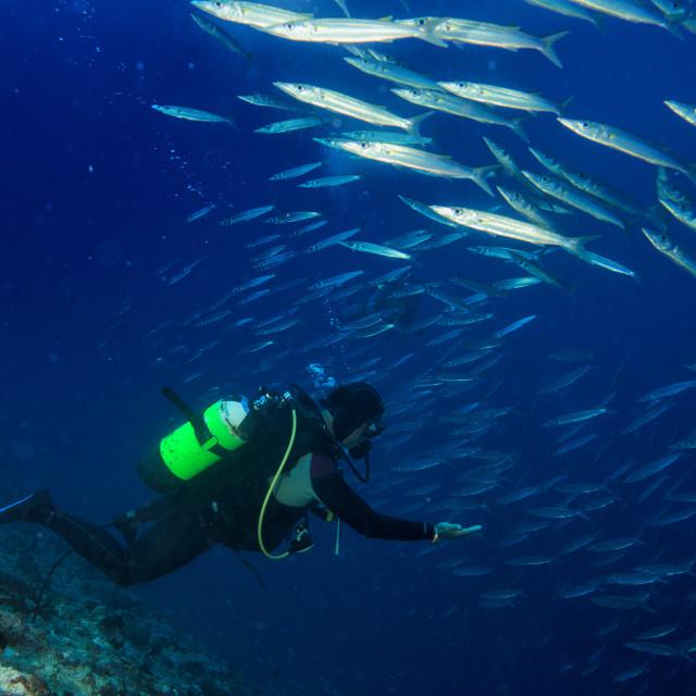"""Barracuda school of Fish underwater"" stock image"