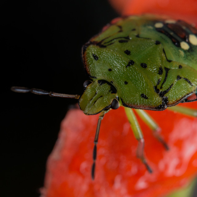 """green beatle insect"" stock image"