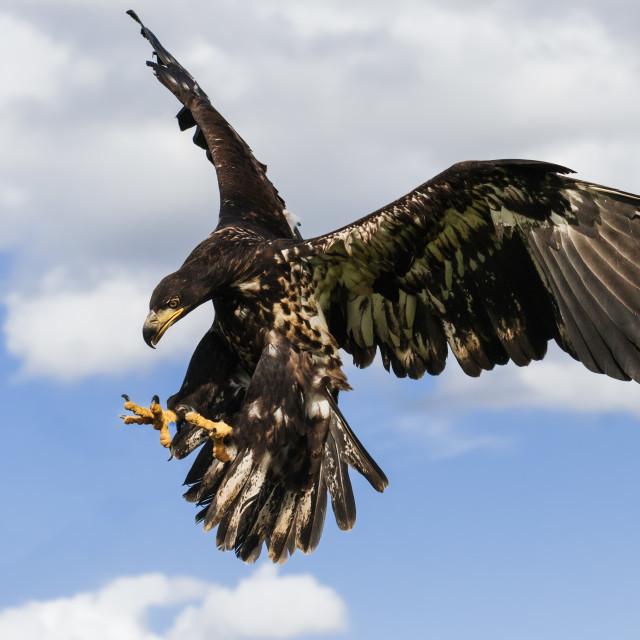"""Young bald eagle descending."" stock image"