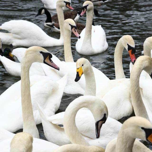 """Whooper swan cygnus cygnus"" stock image"