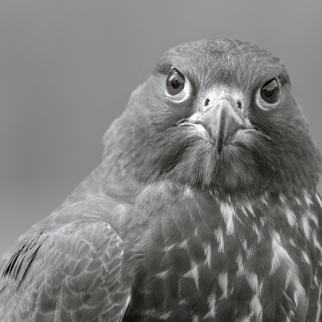 """Gyrfalcon Black and White"" stock image"