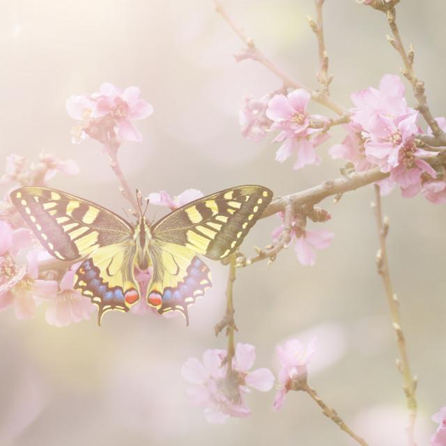 """Papilio machaon,"" stock image"