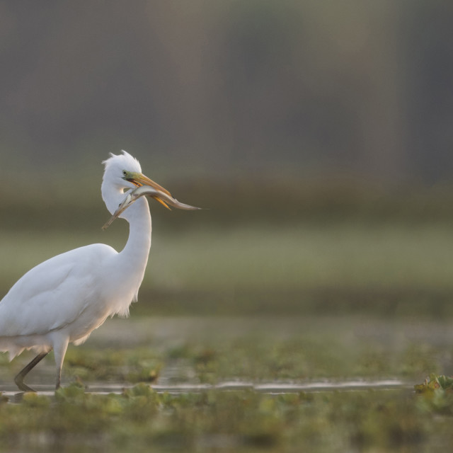 """The Great White Egret With fish"" stock image"