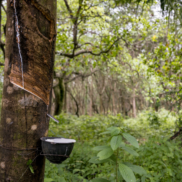 """""""Rubber tapping jungle"""" stock image"""