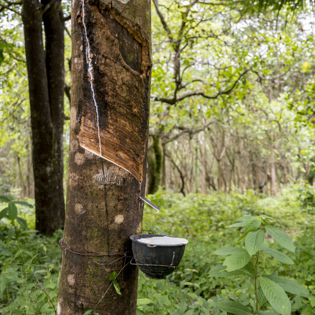 """""""Rubber tapping in the jungle"""" stock image"""