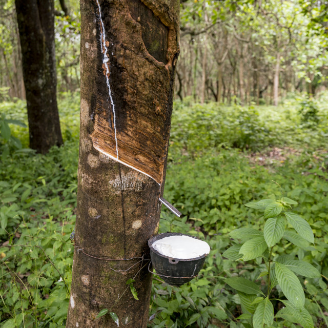 """""""Rubber tapping tree"""" stock image"""