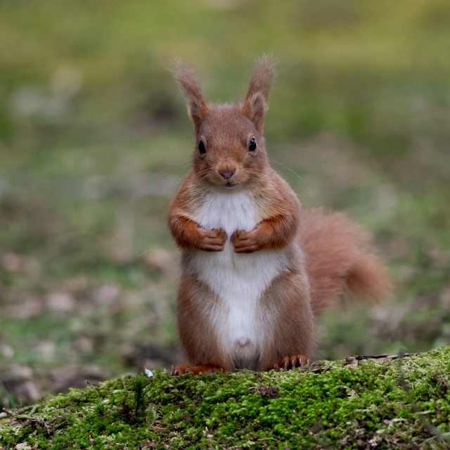 """Upright Red Squirrel"" stock image"