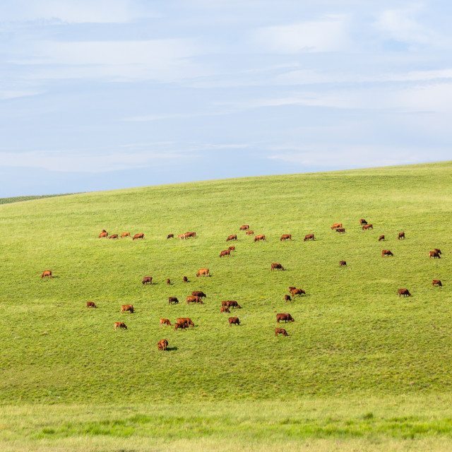 """Cattle Beef Farming Landscape"" stock image"