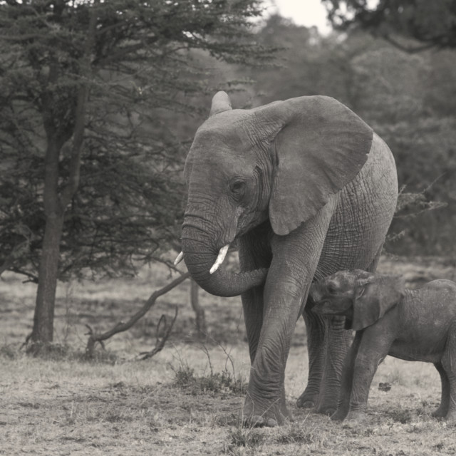 """""""African Elephant & baby-64957.tif"""" stock image"""