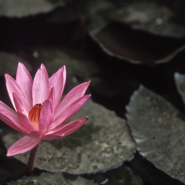 """Lotus, Bodh Gaya, India"" stock image"