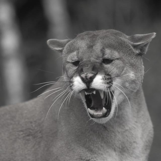 """Mountain Lion growling, Colorado, USA"" stock image"