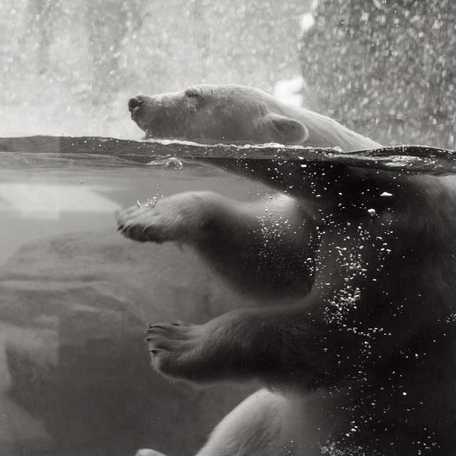 """""""Polar bear underwater"""" stock image"""
