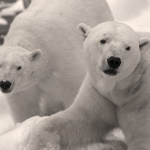 """Two Polar bears"" stock image"