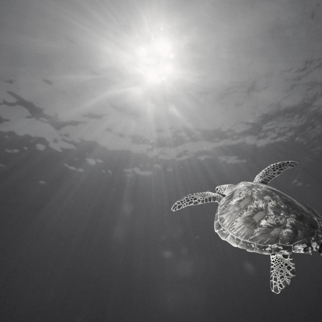 """Sea Turtle and sunburst"" stock image"